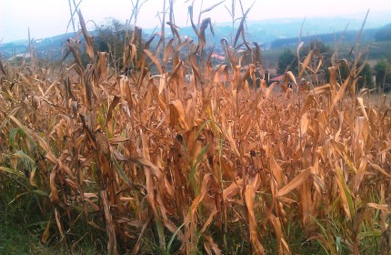 dried corn leaves