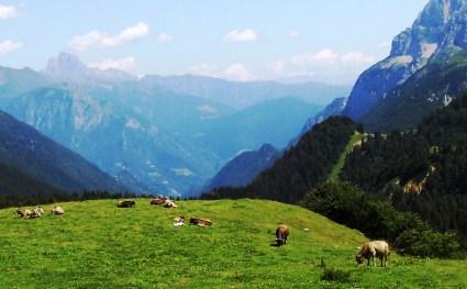alpen cows1