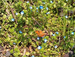 forgetmenots and butterfly