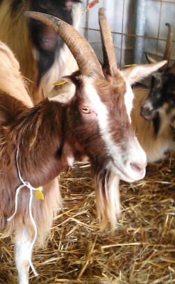 Goat 4