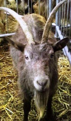 Goat look