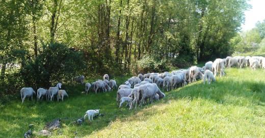 bergamo pecore