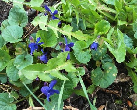 violets in leaf