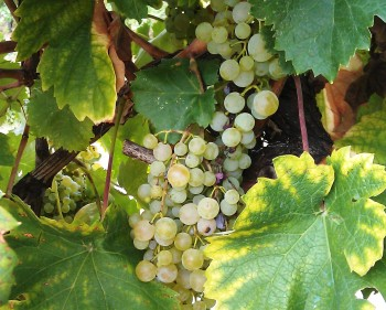Prosecco grapes
